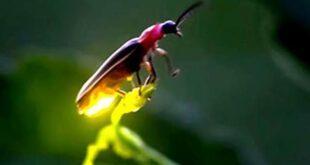 پوری دنیا میں جگنو تیزی سے کم ہونے لگیں