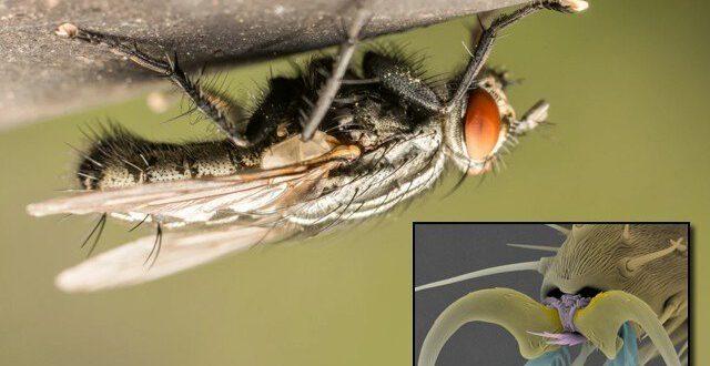 مکھی کے پیروں میں 'انتہائی چپکو' گوند کا راز
